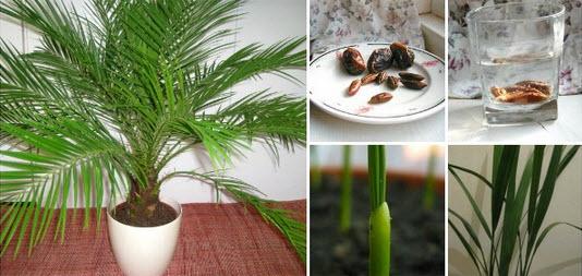 comment faire pousser un palmier dattier partir de graines quebec echantillons gratuits. Black Bedroom Furniture Sets. Home Design Ideas