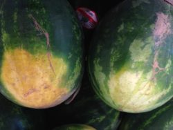 choisir melon d'eau