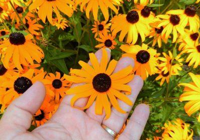 rudbekkies herissees graines fleurs gratuites